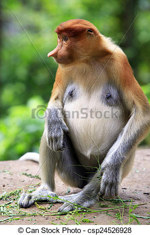 Stock Photo of A proboscis monkey.