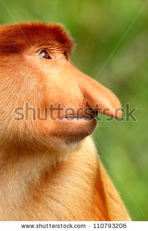 Proboscis Monkey Stock Photos, Royalty.