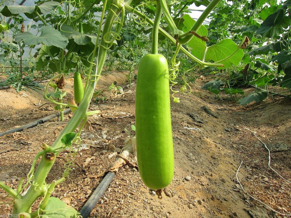 Online Buy Wholesale long bean from China long bean Wholesalers.