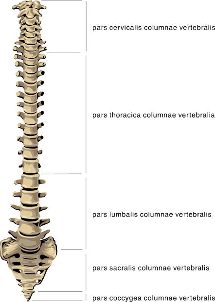Spine Clip Art Download.