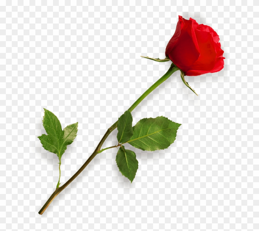 Red Rose Clipart Long Stem.