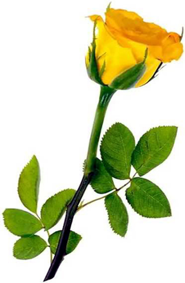 Free Yellow Rose Art, Download Free Clip Art, Free Clip Art.