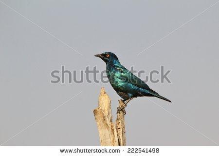 Beautiful Starling Iridescent Stock Photos, Royalty.