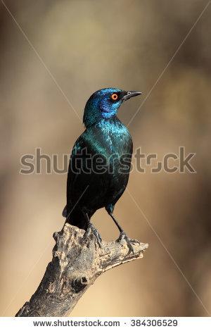 Starling Banco de imágenes. Fotos y vectores libres de derechos.