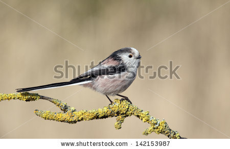 Long Tailed Tit Stock Images, Royalty.