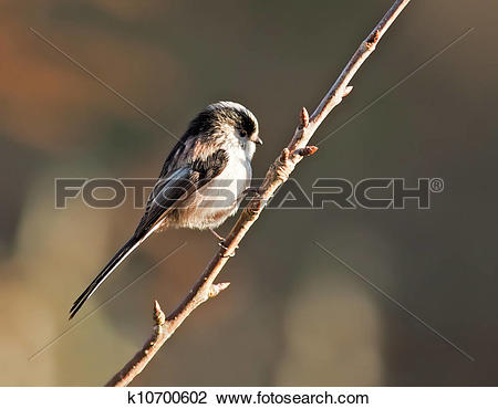 Stock Photo of Long Tailed Tit k10700602.