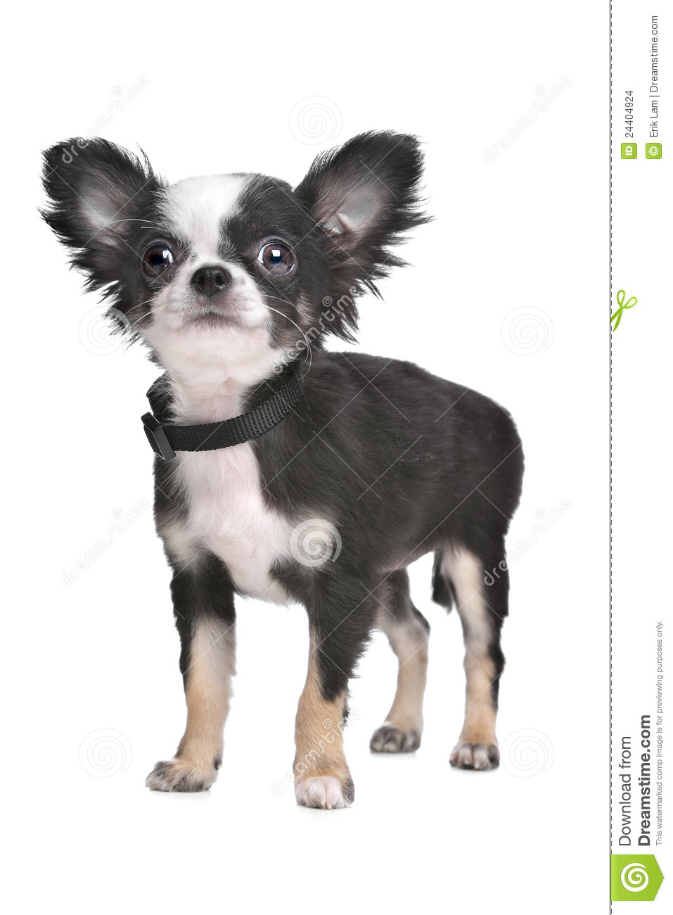 Long Haired Chihuahua Puppy Stock Images.