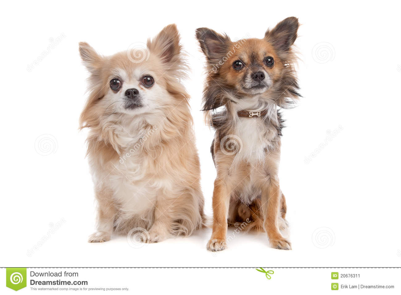 Long Haired Chihuahua Stock Photos, Images, & Pictures.