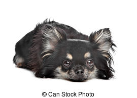Long haired chihuahua Stock Photo Images. 1,108 Long haired.