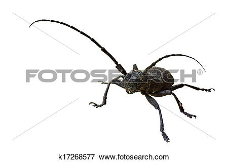 Picture of European longhorn beetle Morimus on the white.