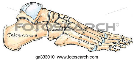 Stock Illustrations of Bones of foot, lateral view. A. Lateral.