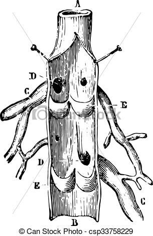 Vector Illustration of Vein Longitudinal section, vintage.
