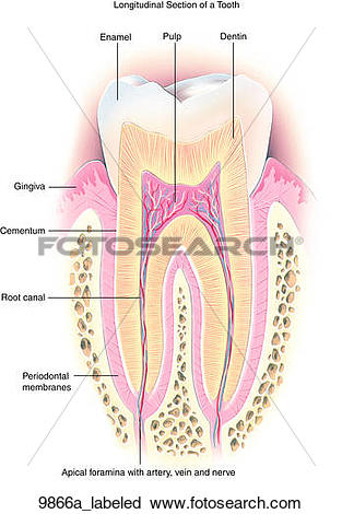 Clipart of Normal Teeth Anatomy Longitudinal Section Labeled.