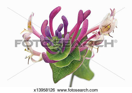Stock Images of Honeysuckle (lonicera implexa) x13958126.
