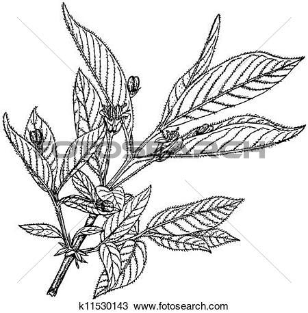 Clipart of Plant Lonicera involucrata k11530143.