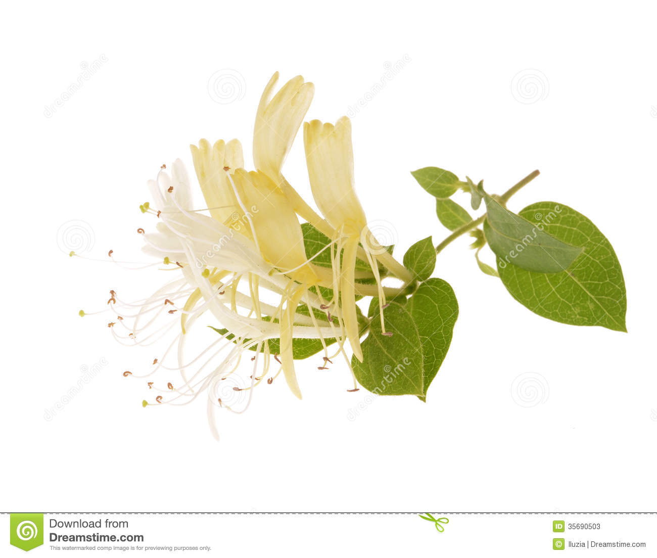 Sprig Of Honeysuckle Royalty Free Stock Image.