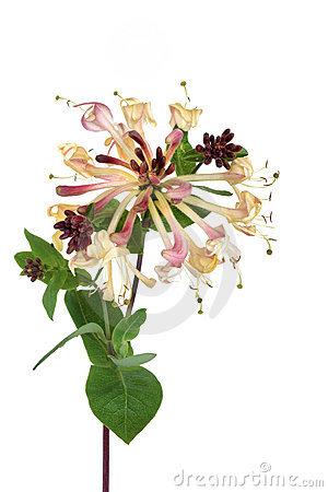 Honeysuckle Flower, Lonicera Royalty Free Stock Photos.