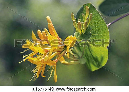 Stock Photograph of Lonicera heckrottii u15775149.