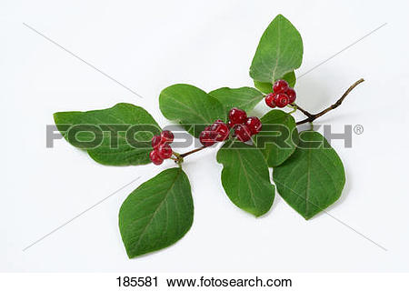 Stock Photography of Fly Honeysuckle (Lonicera xylosteum). Twig.