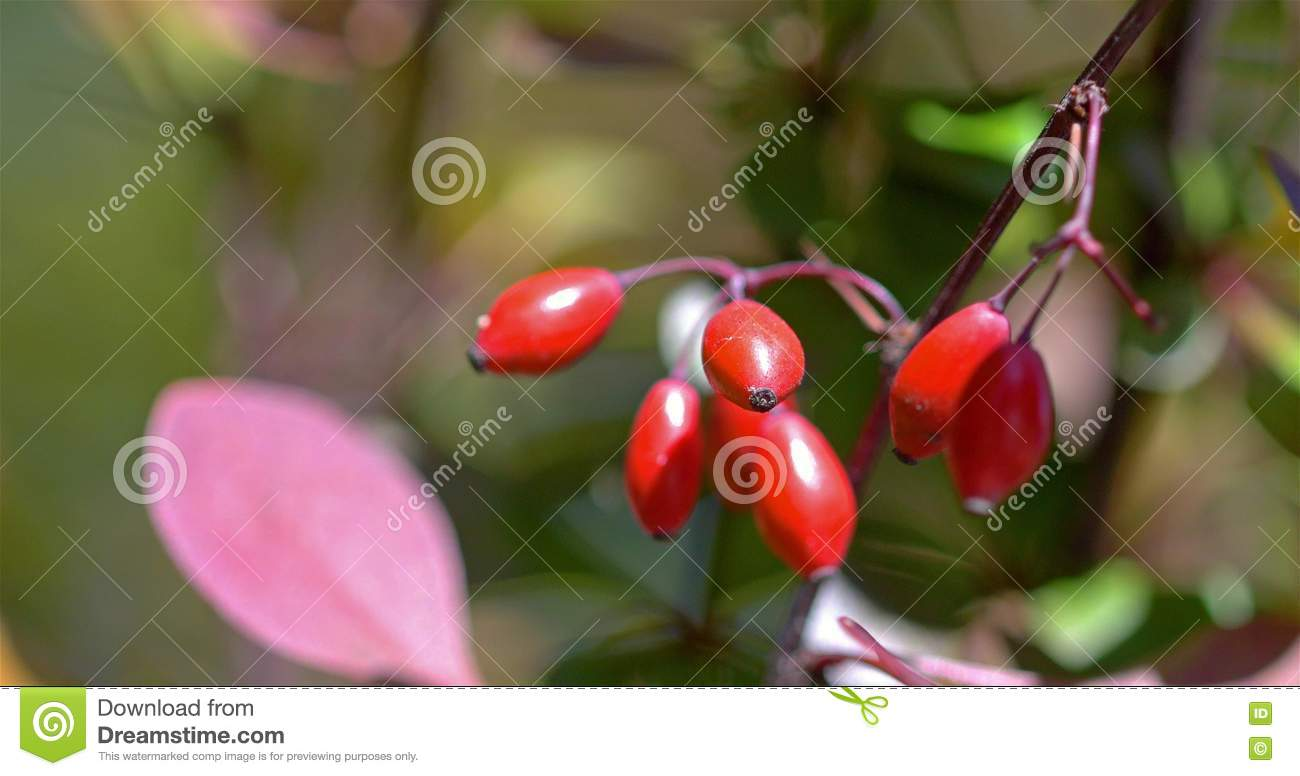 Red Poisonous Berries Stock Footage.