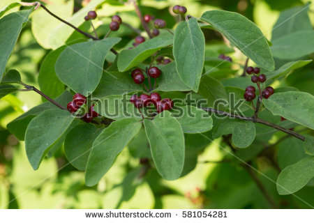 Lonicera Stock Photos, Royalty.