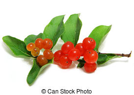 Stock Images of Honeysuckle (Lonicera xylosteum) wild berry fruits.