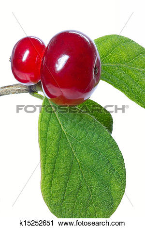 Stock Photography of Honeysuckle (Lonicera xylosteum) wild berry.