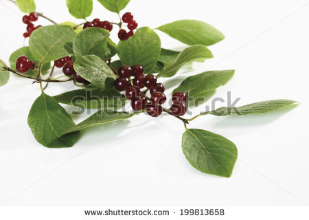 Lonicera Xylosteum Stock Photos, Images, & Pictures.