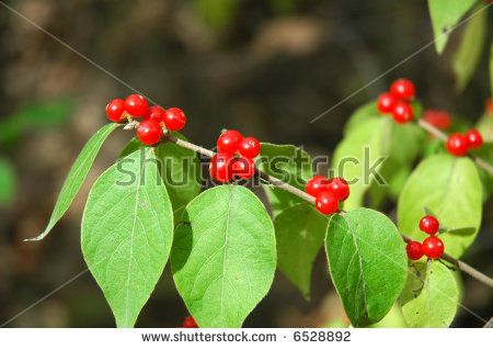 Festive Holiday Honeysuckle Branch With Red Berries (Lonicera.