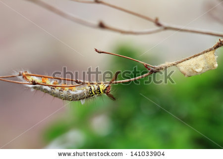 Notodontidae Stock Photos, Royalty.