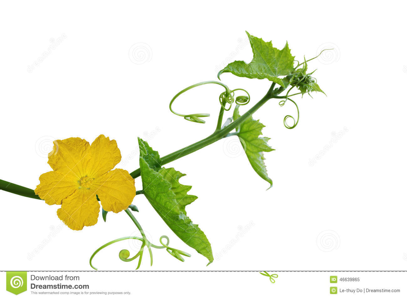Loofah Flower And Leaf Stock Photo.