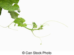 Stock Image of Loofah Flower and Leaf.