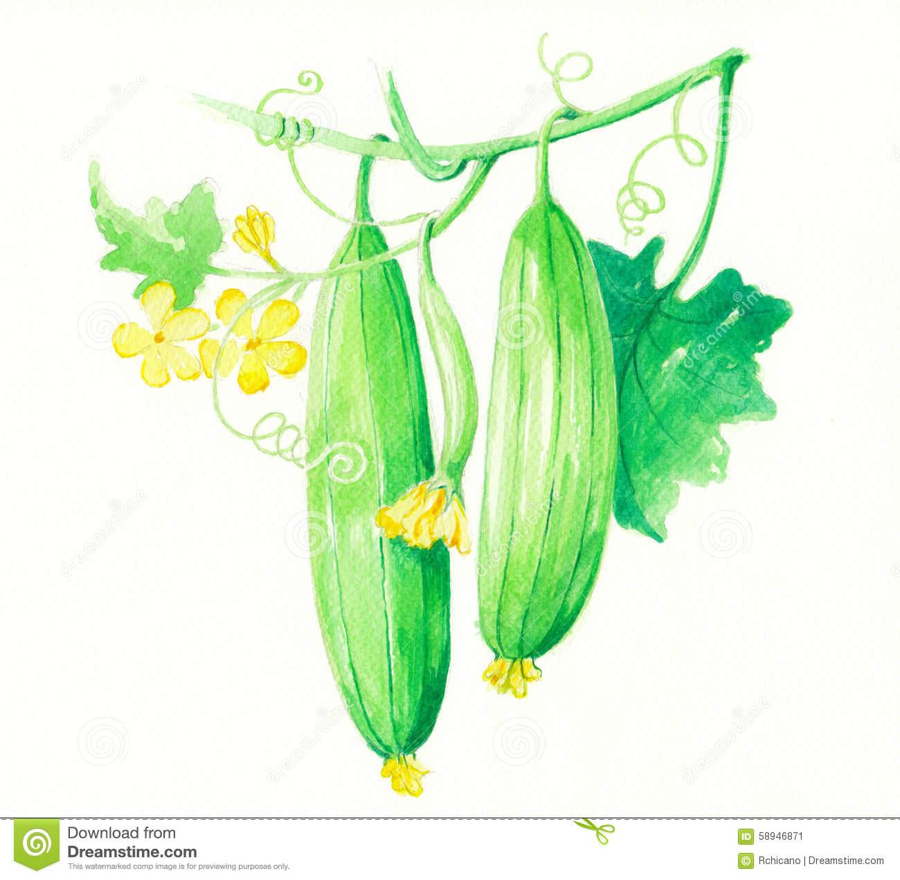 Loofah Stock Illustrations.