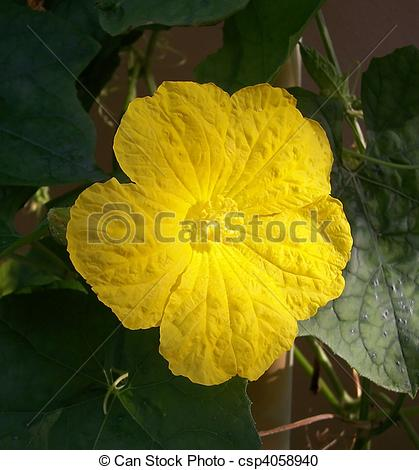 Stock Photography of Loofah Flower.