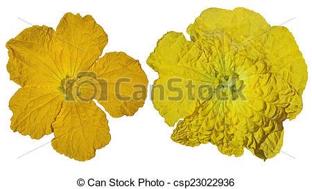 Stock Photos of Luffa Flowers.