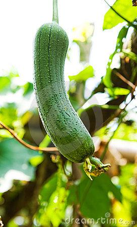 Loofah Plant Stock Photo.