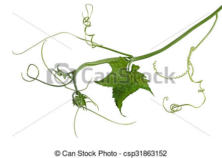 Stock Images of Luffa Loofah Leaf on vine isolated over white.