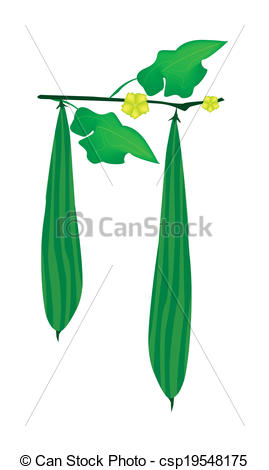 Vectors Illustration of Fresh Green Ridged Gorud on A Plant.