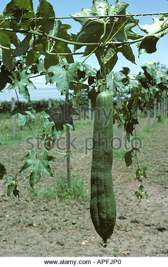 Luffa Cylindrica Stock Photos & Luffa Cylindrica Stock Images.