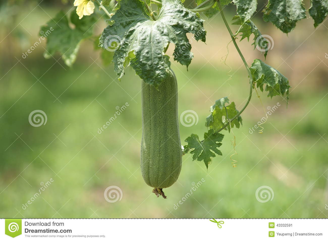 Towel Gourd (Luffa Acutangula) Stock Photo.