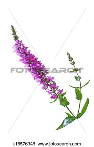 Pictures of Purple Loosestrife Flower k16576348.