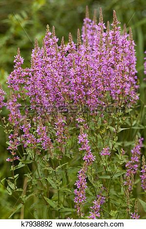 Stock Photo of purple loosestrife k7938892.