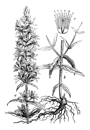 Purple Loosestrife Clip Art, Vector Images & Illustrations.