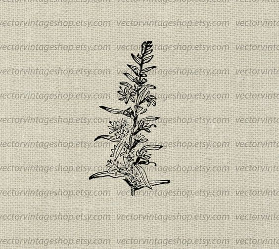 Flower Vector Instant Download, Loosestrife Blossom Graphic Plant.