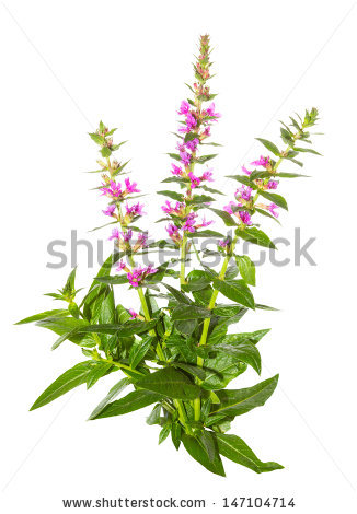 Purple Loosestrife Stock Photos, Royalty.