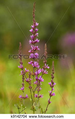 Stock Photo of purple loosestrife k9142704.