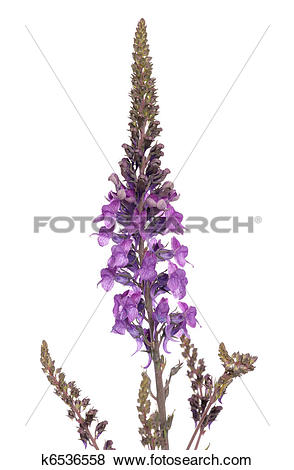 Pictures of Purple Loosestrife k6536558.