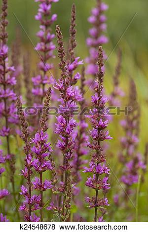 Pictures of purple loosestrife k24548678.