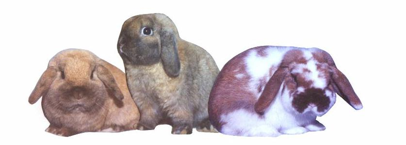 Holland lop clipart.