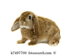 Lop ear rabbit Stock Photos and Images. 1,489 lop ear rabbit.